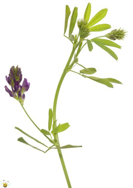 Alfalfa Flower