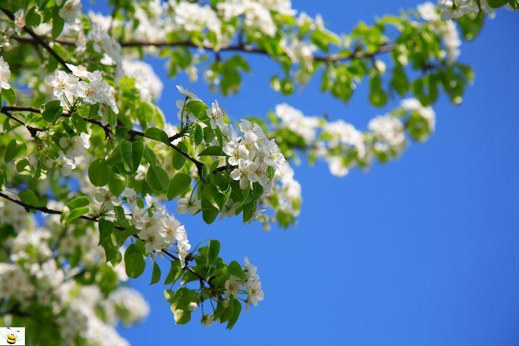 Apple Honey Tree