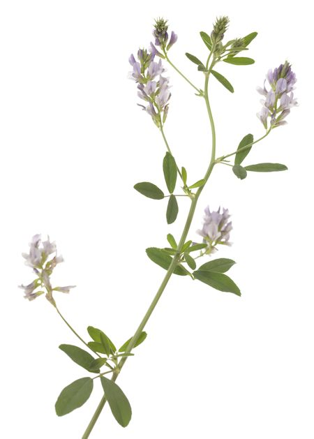 Alfalfa Honey Plant