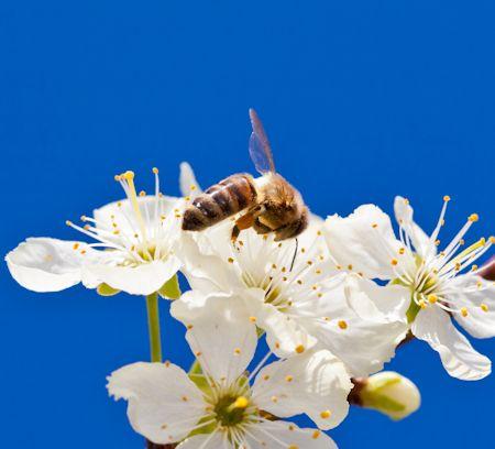 Apple Honey Bee