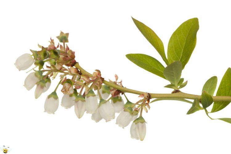 Blueberry Honey Flower