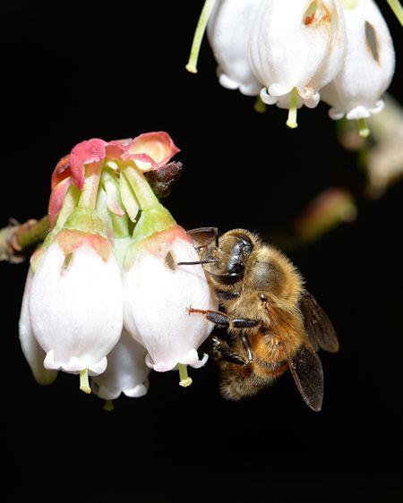 Blueberry Flower Honey Bee