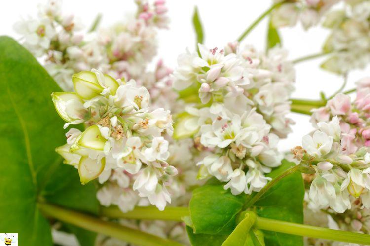 Buckwheat Honey Flowers