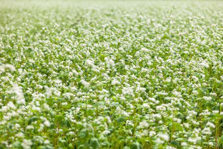 Buckwheat Field Crop in Bloom