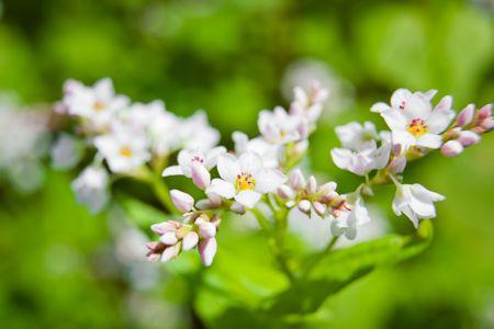 Buckwheat Honey Blossom