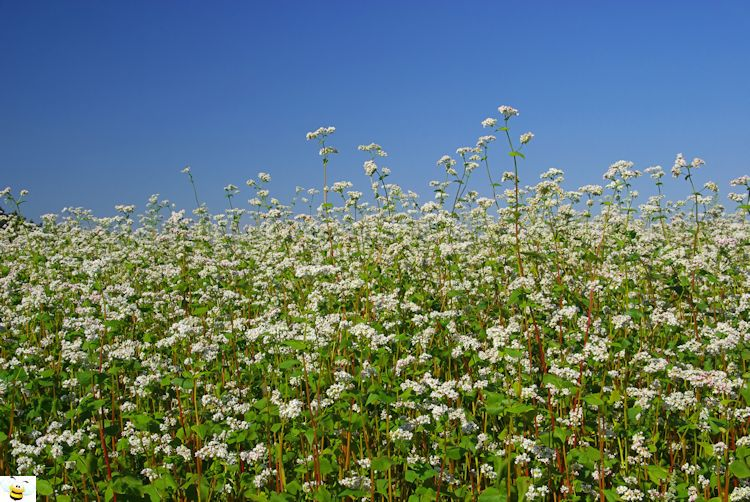 Buckwheat Crop in Full Bloom