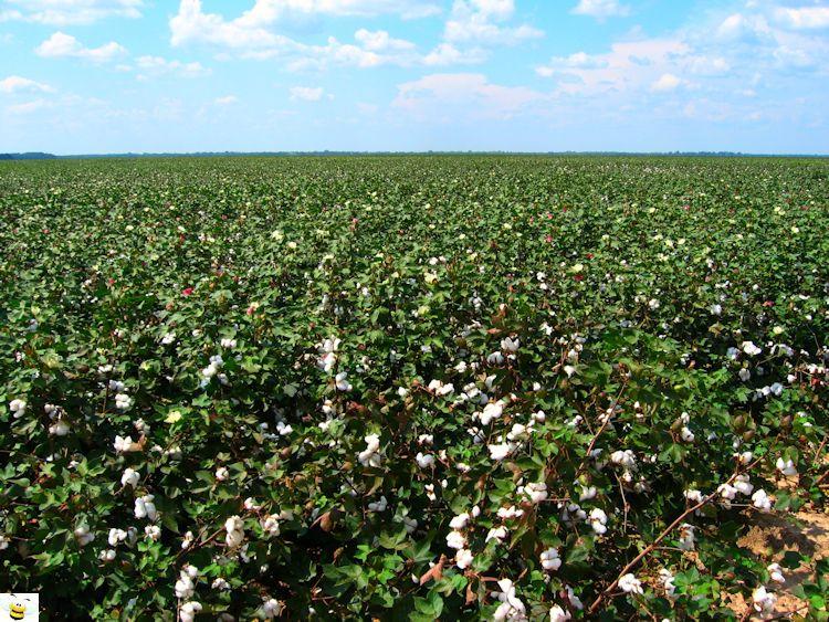 Cotton Flower Field