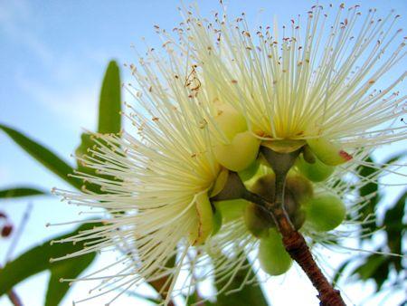Eucalyptus Honey Flower