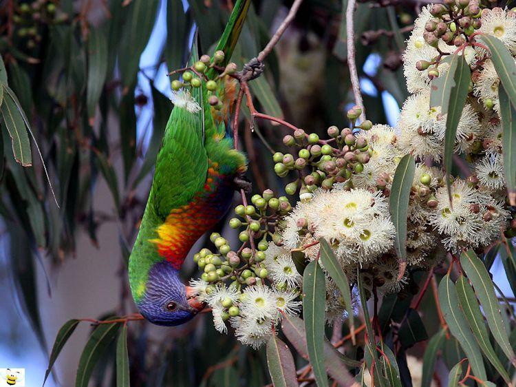 Lorikeet Feeding on Eucalyptus Nectar