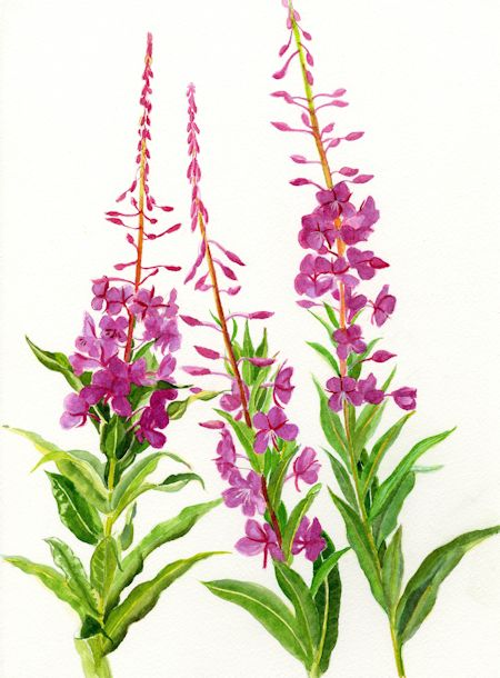 Fireweed Flower Painting