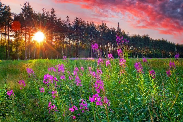 Fireweed Flower Sunset
