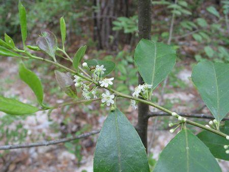 Gallberry Flower