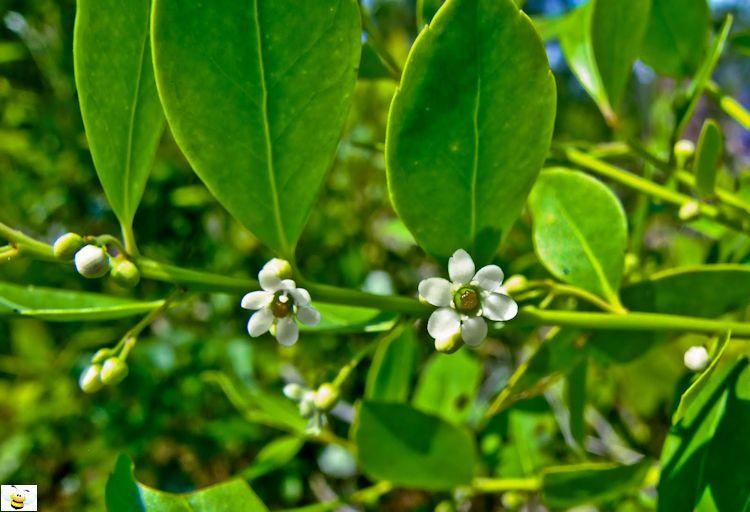Gallberry Honey Flower