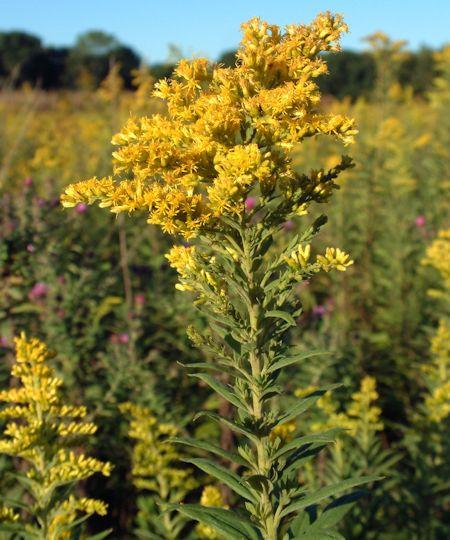 Goldenrod Flower Head