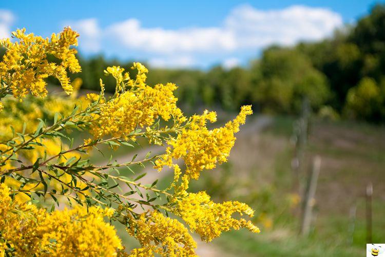 Goldenrod Flower Roadside