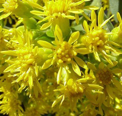 Goldenrod Flower Up Close