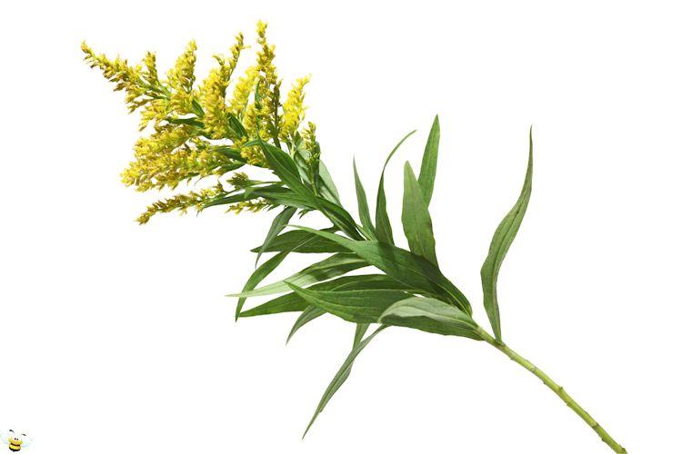 Goldenrod Honey Flower