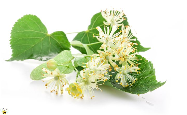 Basswood Honey Flower