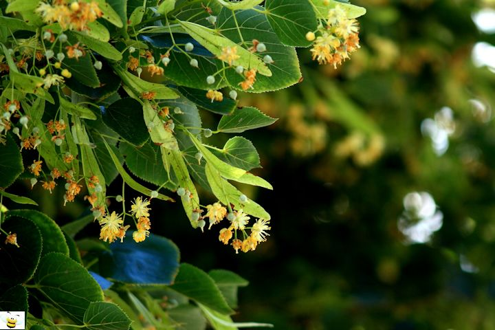 Basswood Honey Plant