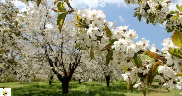 Honey Plants - Apple Orchard