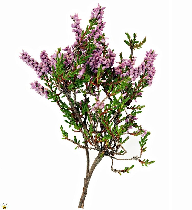 Heather Honey Flower