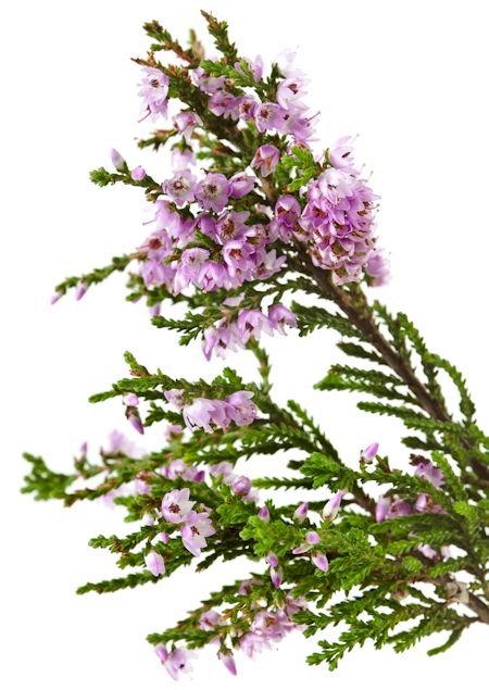 Heather Plant Branch