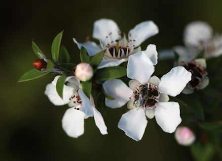Manuka Flowers And Honey Bee
