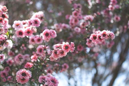 Manuka Pink Flowers