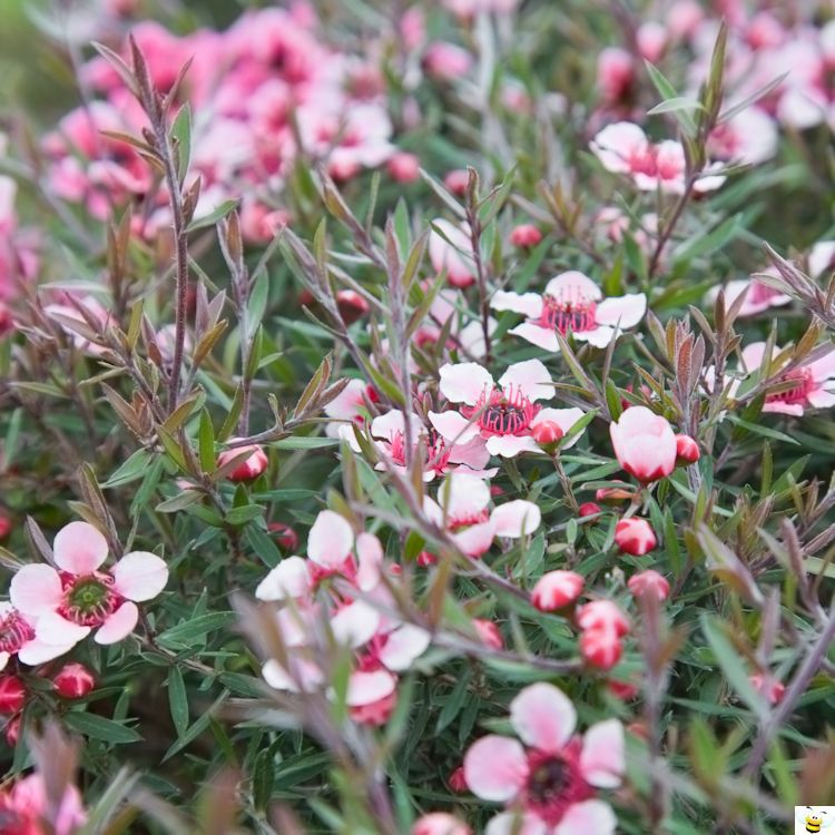 Manuka Plant Flowers