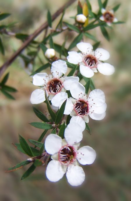 Manuka White Flower Upclose