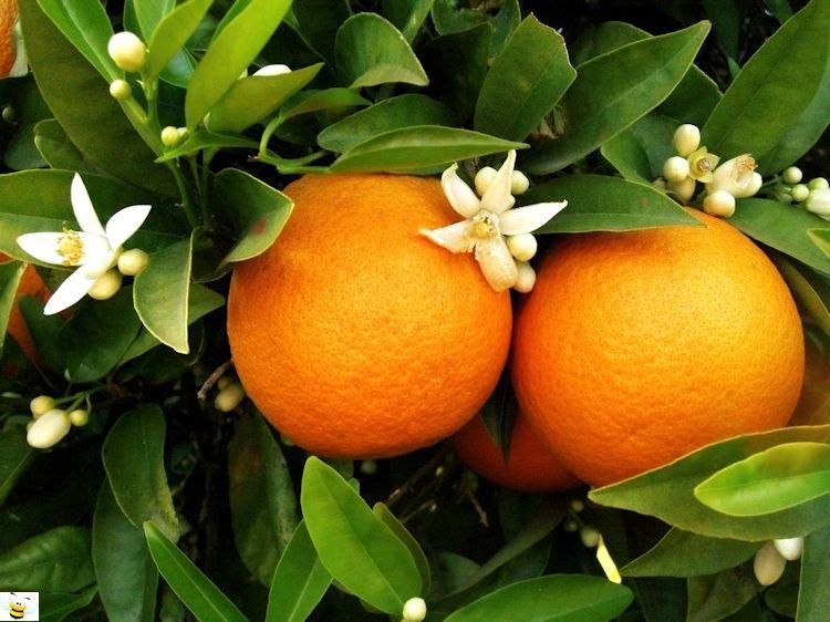 Orange Blossom Honey Flowers