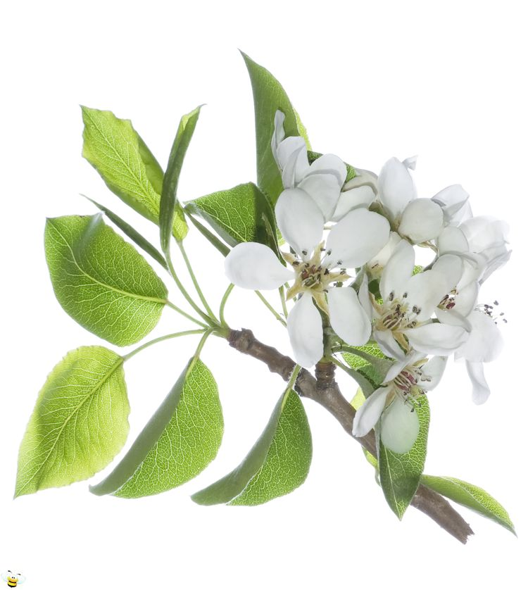 Pear Honey Blossom