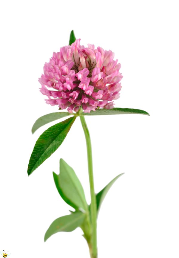 Red Clover Honey Flower