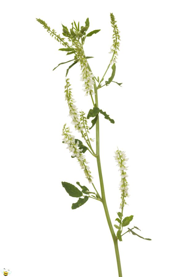 White Sweet Clover Honey Flower