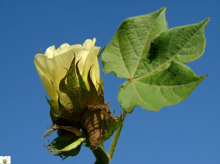 Cotton Honey Flower