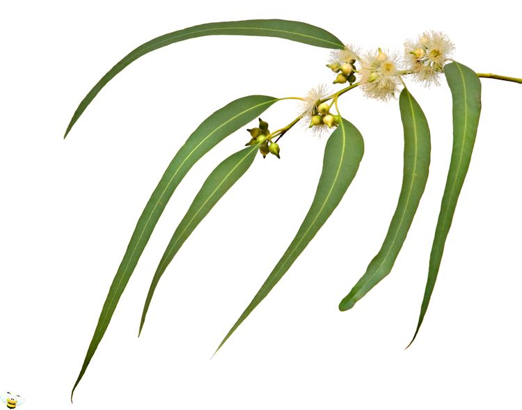 Eucalyptus Leaf and Flowers