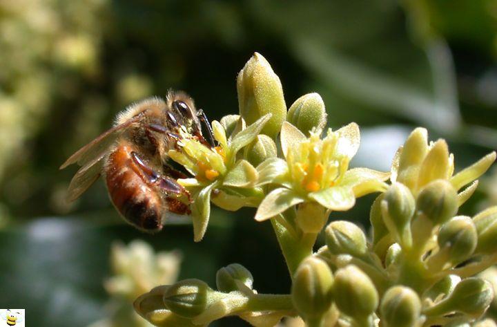 Avocado Honey Blossom