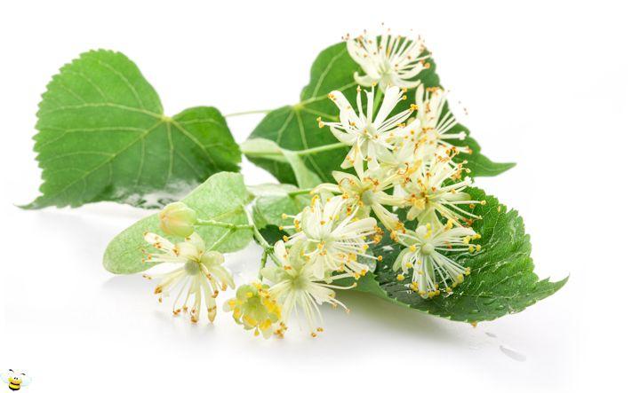 Basswood Honey Flower